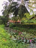 Teich mit Seerose auf Sri Lanka Stockfotografie