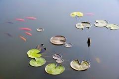 Teich mit Seerose und koi Fischen Stockfotografie