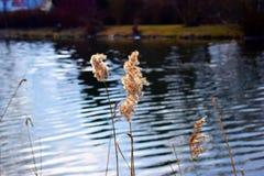 Teich mit trockenem Gras stockfotografie