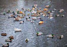 Teich mit Wildenten Lizenzfreies Stockfoto