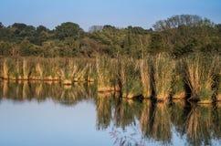 Teich und Schilf lizenzfreie stockfotos