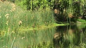 Teich und Ufer mit grünen Schilfen und Baum stock footage