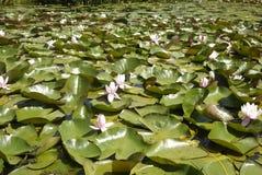 Teich voll von Seeroseblättern und -blumen im Sonnenschein Großbritannien Stockfoto