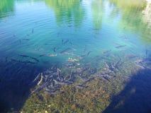 Teich von Fischen Stockfoto