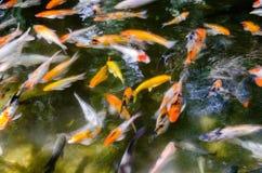 Teich von Kois Lizenzfreie Stockfotos