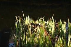 Teichhuhn auf dem Nest lizenzfreies stockbild