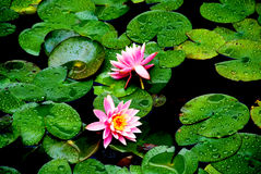 Teichlilien auf den Blättern Stockbild