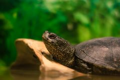 Teichschildkrötenkopf stockbilder