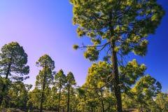 Teide-Berg in Teneriffa Kanarische Inseln Wald Lizenzfreie Stockfotos