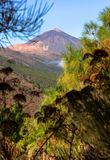Teide Beyond Bushes Stock Images