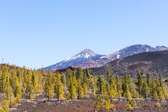 Teide National Park forrest and trees Royalty Free Stock Photo