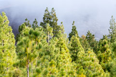 Teide National Park, Tenerife - the most spectacular travel destination, green endemic pine forest. Teide National Park, Tenerife - the most spectacular travel royalty free stock photos