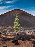 Teide National Park, Tenerife. Photo taken on walk within the Teide National Park, Tenerife. Pine trees in foreground Royalty Free Stock Photo