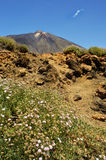 Teide rocks and white flowers Stock Photos