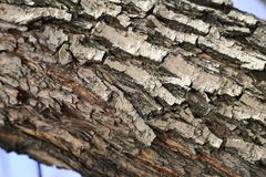Teil der verbogenen Birke, Birkenrinde eines alten Baums Lizenzfreie Stockfotos