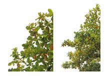 Teil des Malabar-Baums Lizenzfreie Stockbilder