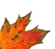 Teil des Mehrfarbenherbstahornblattes Stockfoto