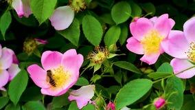 Teil des natürlichen Prozesses der Herstellung des Honigs stock video