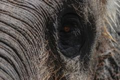 Teil des Sumatra-Elefantkopfes mit enormem Auge lizenzfreie stockfotografie