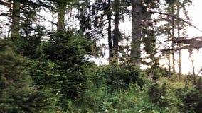 Teil des Waldes mit den jungen und alten Tannen Dämmerung über dem Gebirgszug stock footage