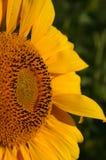Teil einer Sonnenblume Stockfotografie