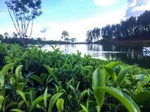 Teil eines Teelandes nahe einem See lizenzfreie stockfotografie