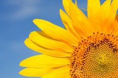 Teil schöne Sonnenblumen mit blauem Himmel Lizenzfreie Stockfotografie