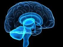 Teile des menschlichen Gehirns Stockbild