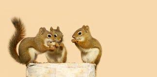 Teilen mit drei Schätzcheneichhörnchen. Stockfoto