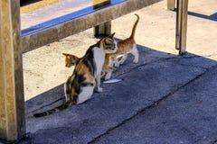 Teilen von Lebensmittelfischen durch erwachsene Katze mit ihren Jungen Stockfotografie