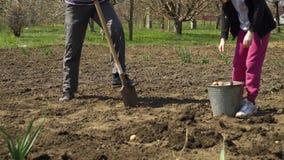 Teilweise Ansicht des Landwirts und seiner Tochter, die Kartoffeln im Vorfrühling pflanzen stock footage