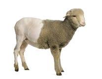 Teilweise rasiertes Merinolamm, 4 Monate alte Lizenzfreies Stockfoto
