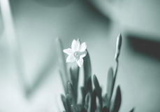A teinté le fond avec un narcisse fleurissant photo libre de droits