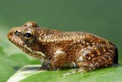 Teintez la grenouille Image stock