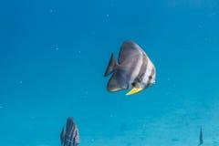 Teira batfish Fotografering för Bildbyråer