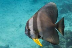 Teira batfish Arkivfoto