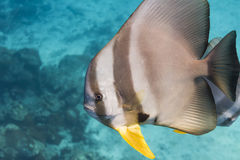 Teira batfish Royalty Free Stock Photos