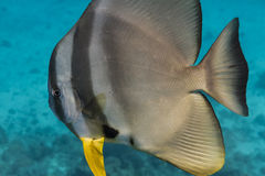 Teira batfish Royaltyfria Bilder