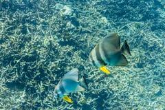 Teira batfish Royaltyfri Fotografi