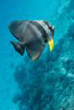 Teira batfish Stock Photos