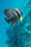 Teira batfish Arkivfoton