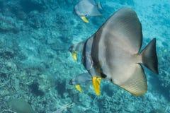 Teira batfish Arkivbild