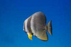 Teira batfish (den Platax teiraen) Fotografering för Bildbyråer