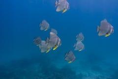 Teira batfish (den Platax teiraen) Royaltyfria Foton