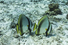 Teira batfish på den Similan nationalparken Fotografering för Bildbyråer