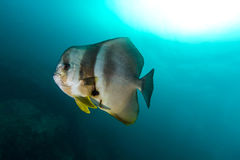 Teira Batfish Platax Teira στο μπλε Στοκ φωτογραφίες με δικαίωμα ελεύθερης χρήσης