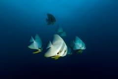 Teira Batfish Platax teira in the blue. School of Teira Batfish Platax teira in the blue ocean Stock Photo
