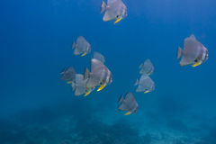 Teira batfish (Platax teira) Royalty Free Stock Photos