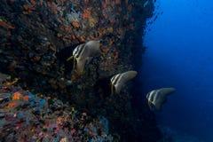 Teira Batfish Platax teira w błękicie Zdjęcia Royalty Free