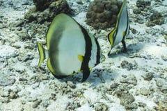 Teira batfish at Similan national park Stock Image